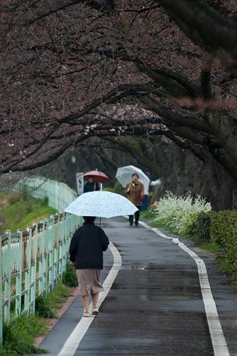 雨桜2-3