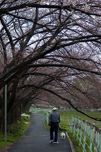 雨桜2-4