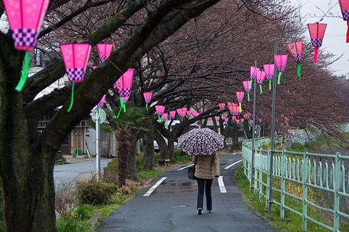 雨桜2-6