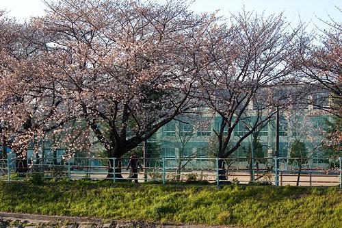 桜中間-1