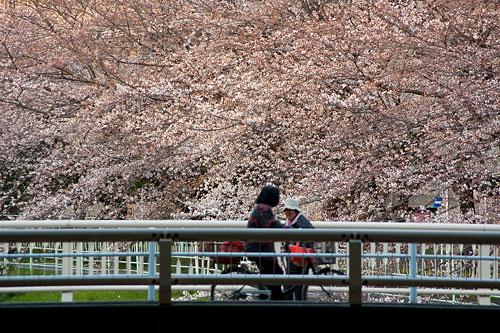 桜中間-10