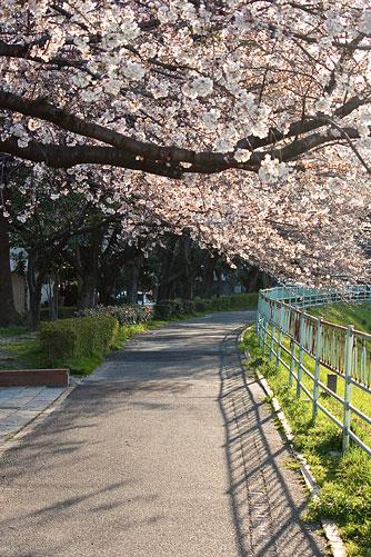 桜中間-2