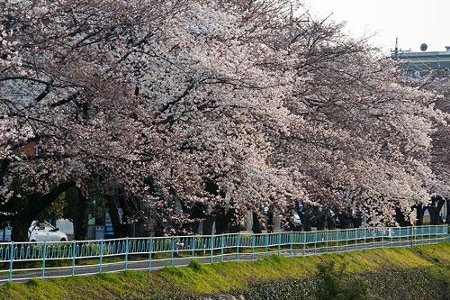 桜中間-8