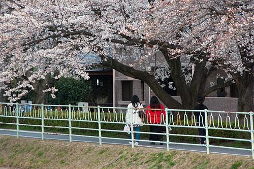 桜中間-9