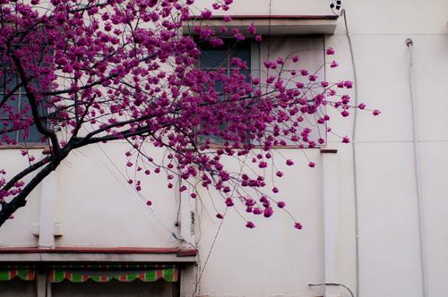 高岳桜-10