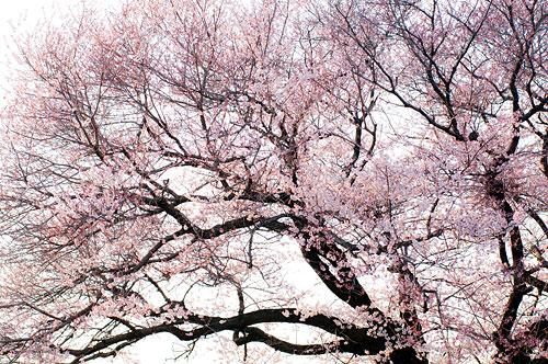 覚成寺桜-1