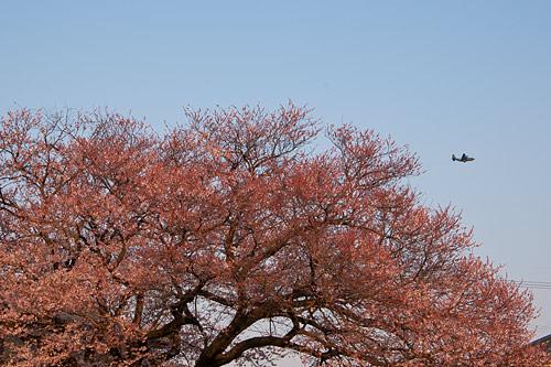 覚成寺桜-10