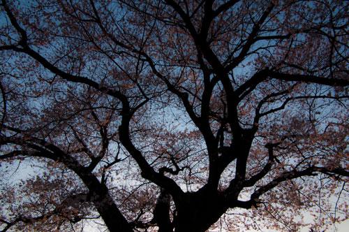 覚成寺桜-11