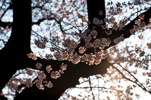 覚成寺桜-5