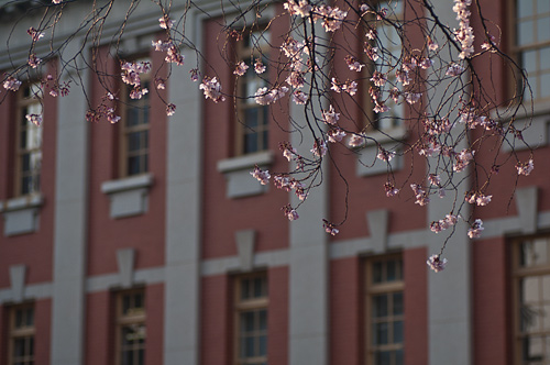 市政資料館桜-1