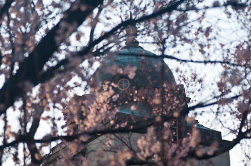 市政資料館桜-2