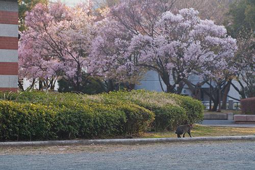 市政資料館桜-24