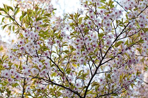 市政資料館桜-3