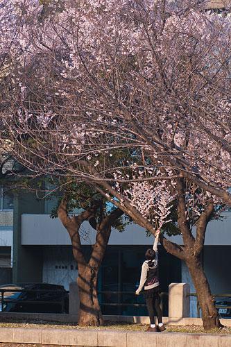 市政資料館桜-5