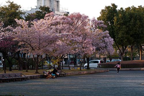 市政資料館桜-6