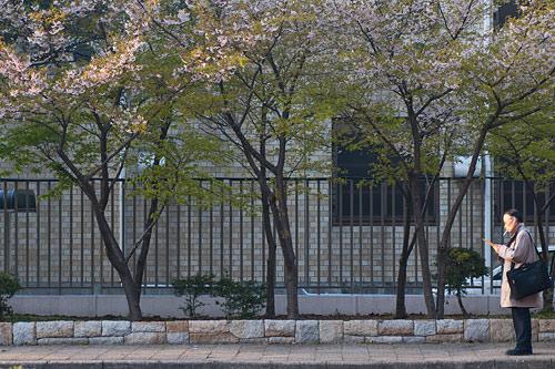 市政資料館桜-7