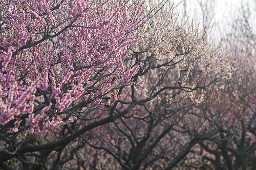東山植物園春1-13