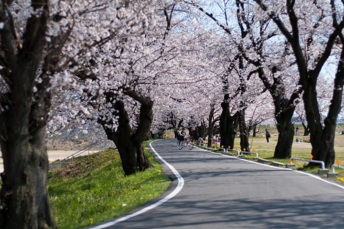 桜便り6-11