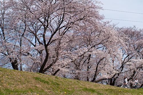 桜便り6-14