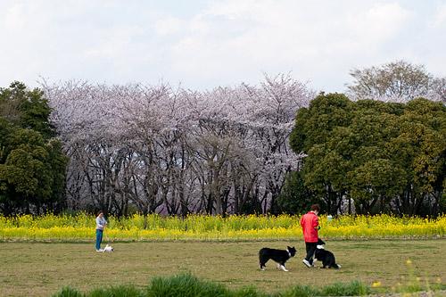 桜便り6-17