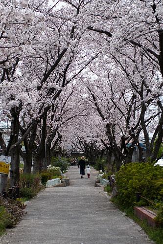 桜便り6-2