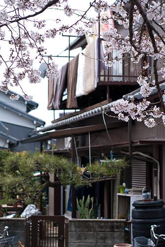 桜便り6-4