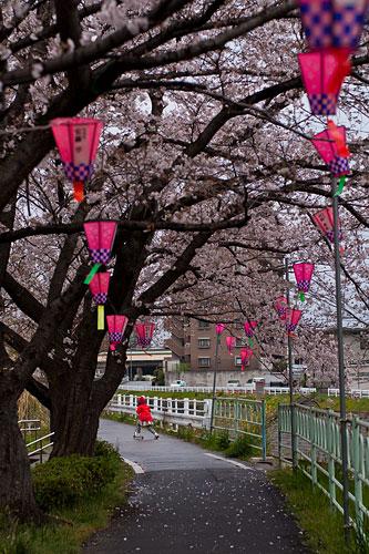 桜便り7-15