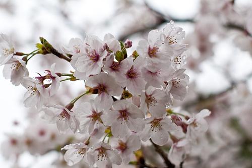桜便り7-3