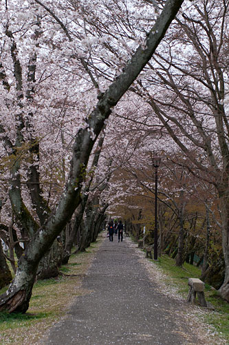 桜便り8-11