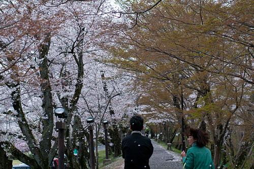 桜便り8-12