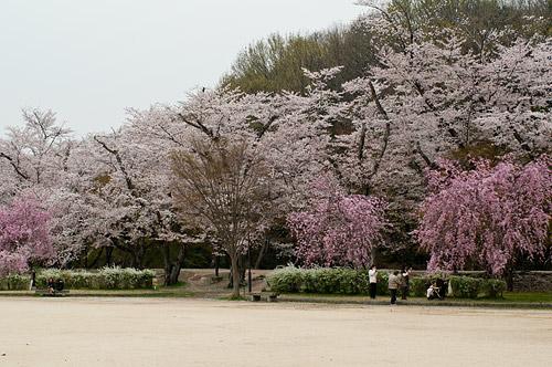 桜便り8-8