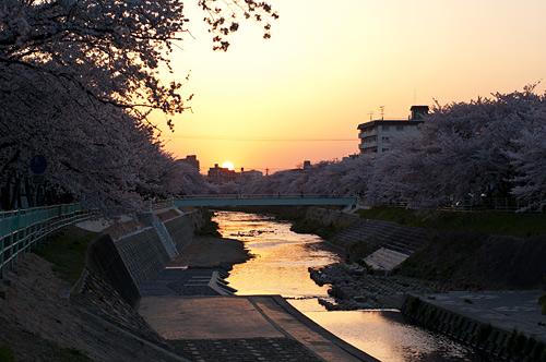 桜便り9-15