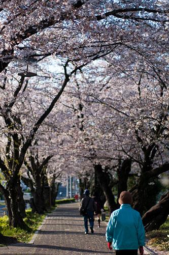桜便り9-4