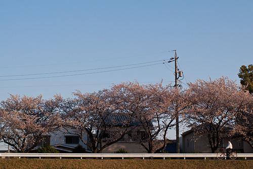 桜便り9-9