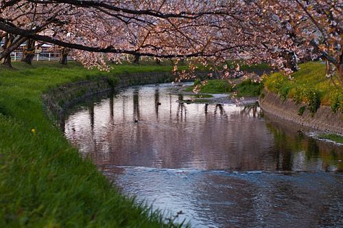 桜便り10-13