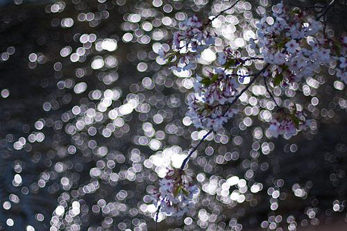 桜便り10-2