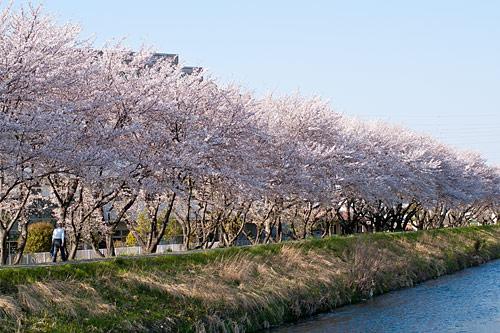 桜便り10-4