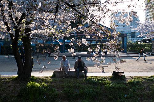 桜便り10-8