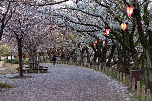 桜便り11-10