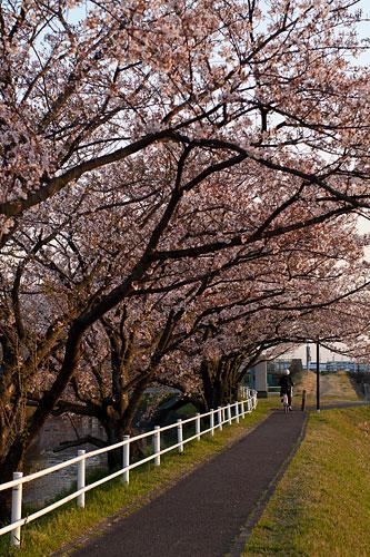 桜便り11-8