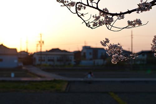 桜便り11-9
