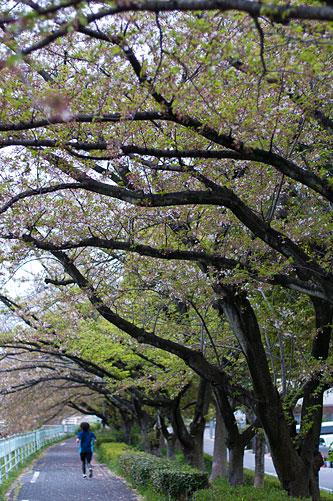 香流川桜-13