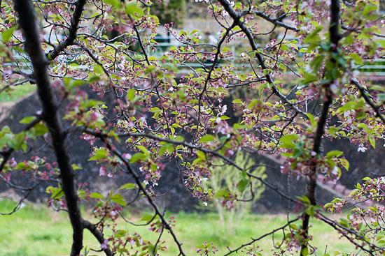 香流川桜-16