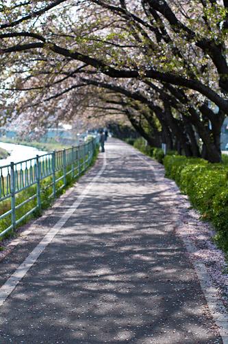 香流川桜-9