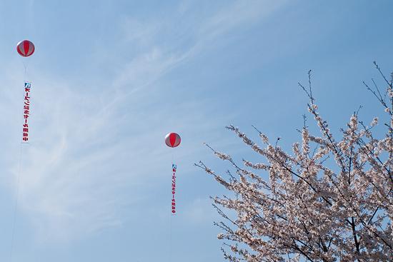 桜便り14-4