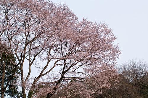 桜便り14-5