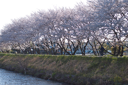 桜便り14-8