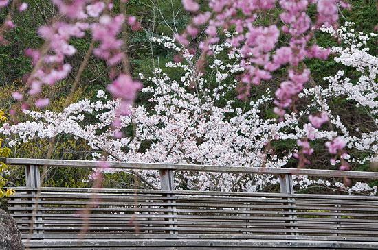 春のモリコロ-5