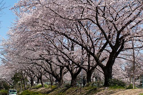 近所桜1-11