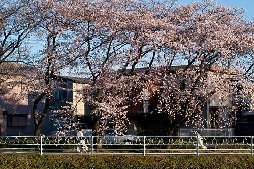 近所桜1-15